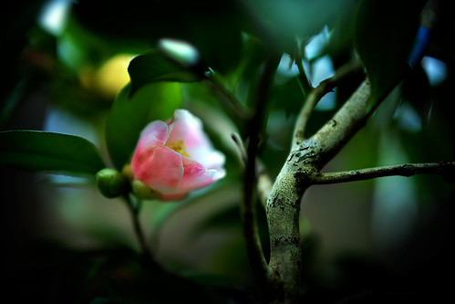 camellia | by slowhand7530