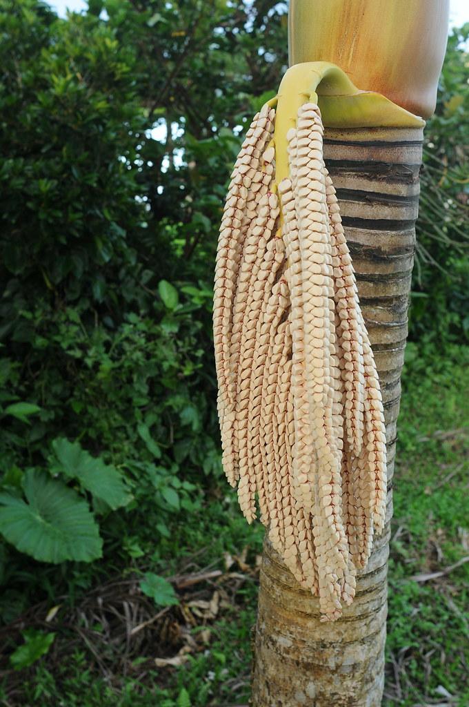 雌花已成熟的山檳榔花序,其雄花尚未成熟,排列整齊猶如牙齒形狀;於葉鞘上可見其被鏽色或金色之點狀鱗片