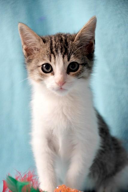 Morris, gatito blanquipardo muy guapo y activo nacido en Octubre´18, en adopción. Valencia. ADOPTADO. 45030585325_8e79ec6ba4_z