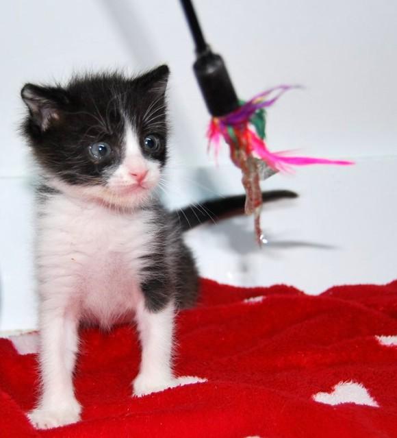 Hugo, gatito blanquinegro adorable nacido en Octubre´18, en adopción. Valencia. ADOPTADO. 45787018301_4c2012819a_z