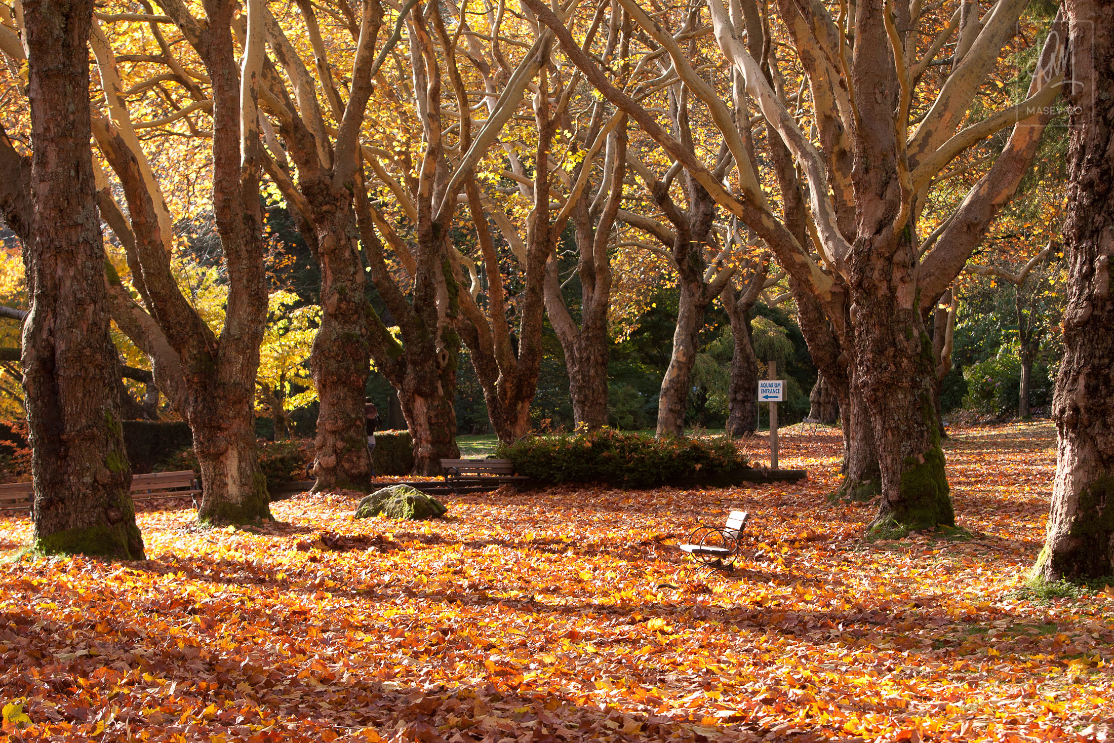 The tree grove right near Lumberman's arch is something to behold in the Fall.