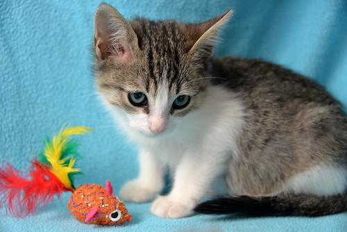 Morris, gatito blanquipardo muy guapo y activo nacido en Octubre´18, en adopción. Valencia. ADOPTADO. 44126427850_3f122b8bbb