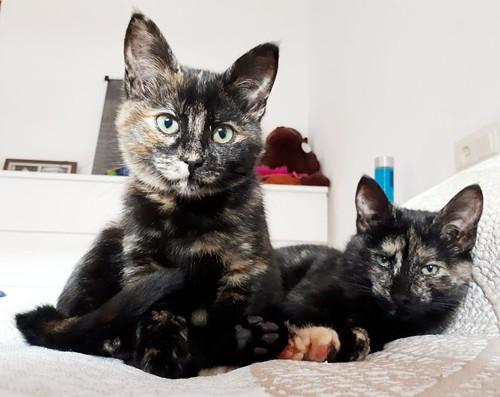 Magda, gatita carey muy mimosa y divertida nacida en Sept´18, en adopción. Valencia. ADOPTADA. 44751825890_8e4f032307