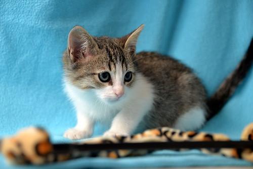 Morris, gatito blanquipardo muy guapo y activo nacido en Octubre´18, en adopción. Valencia. ADOPTADO. 45030595225_a03900695e