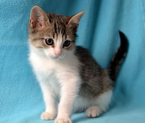 Morris, gatito blanquipardo muy guapo y activo nacido en Octubre´18, en adopción. Valencia. ADOPTADO. 45218669204_b8146532e9