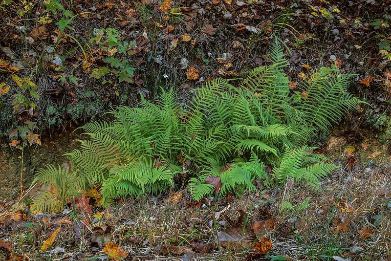 Southern Shleld fern