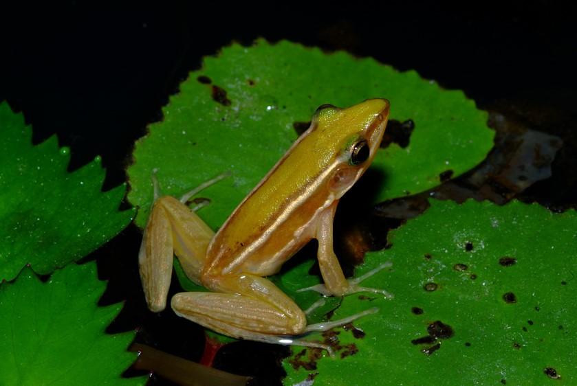 台北赤蛙雄蛙