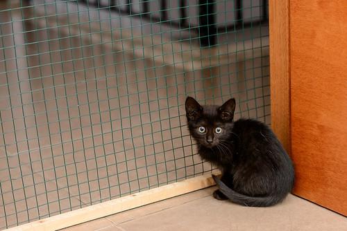 Mágica, gatita azabache muy guapa y tímida + inmunodeficiencia, nacida en Septiembre´18, en adopción. Valencia. ADOPTADA.  46359723452_29f75bddee