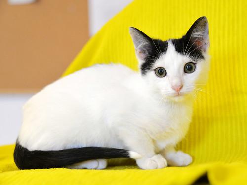 Morad, gatito blanco con toques negros muy juguetón nacido en Octubre´18, en adopción. Valencia. 44506844520_4e6844d927