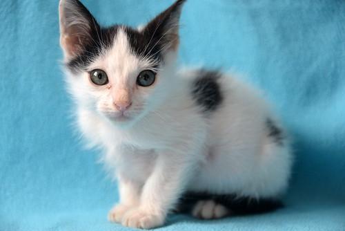 Morad, gatito blanco con toques negros muy juguetón nacido en Octubre´18, en adopción. Valencia. 44126313240_ff2089338d