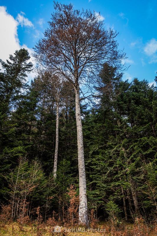 Haya muy alta en el bosque de la Artiga de Lin