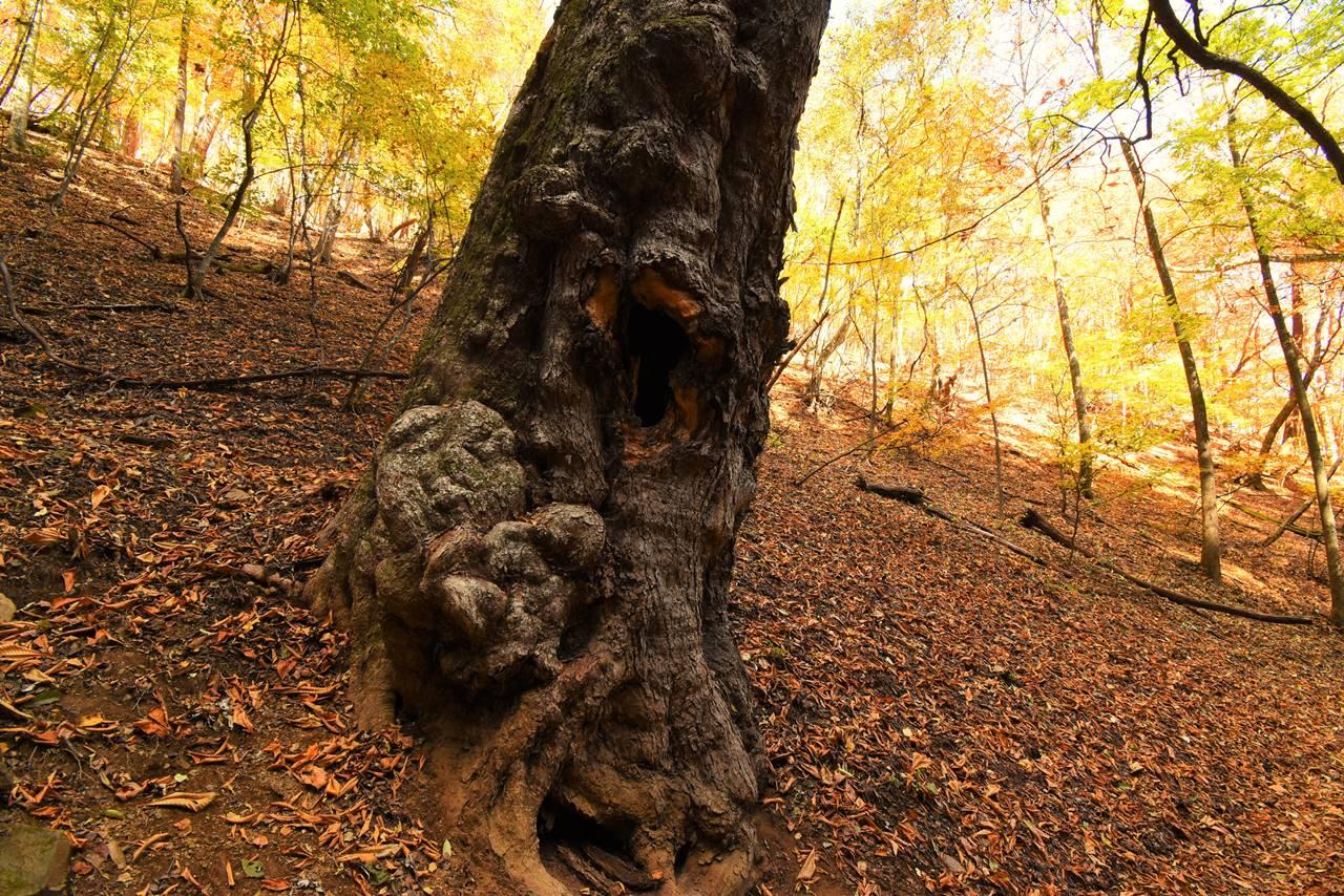 トチノキの巨樹