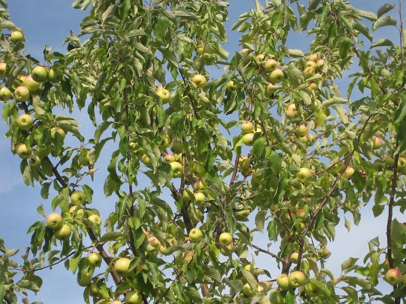 Зелёные яблоки на яблоне