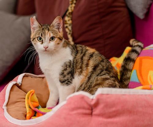 Casandra, gatita tricolor monísima y súper buena esterilizada, nacida en Mayo´18, en adopción. Valencia. ADOPTADA. 45453307144_ba52aa82f3