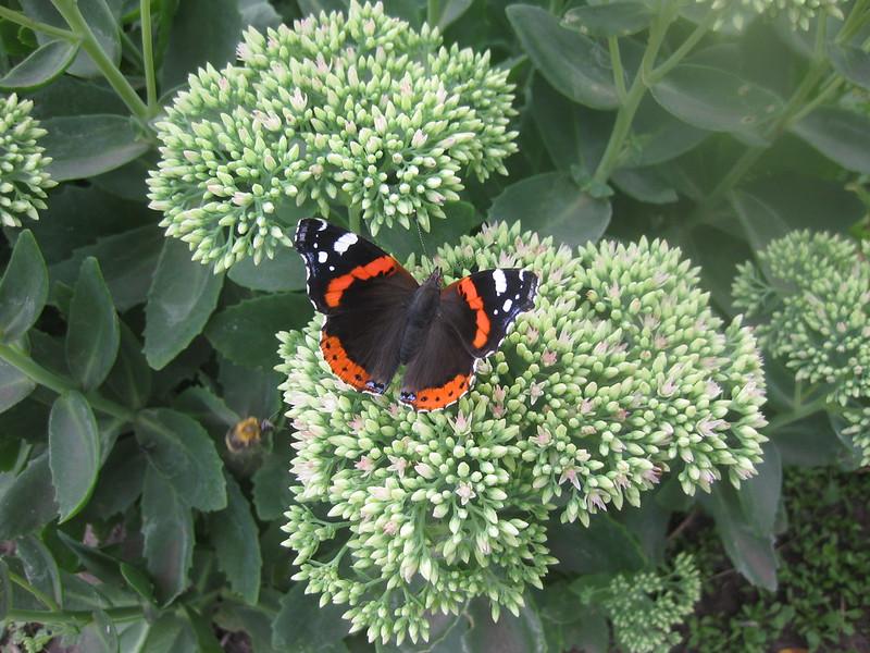 Цветок очиток с бабочкой
