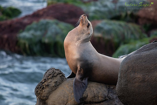 California Sea Lion | by NatureScapes007