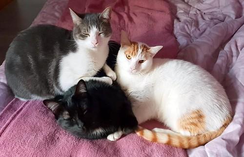 Gary, gatito blanco y naranja cruce Van Turco esterilizado muy activo nacido en Julio´16, en adopción. Valencia. ADOPTADO. 44506684070_ae79492fa3