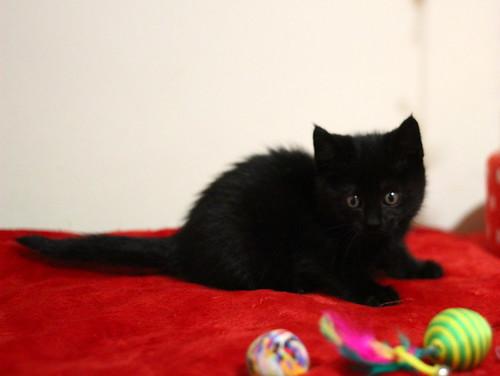 Mina, gatita azabache súper mona nacida en Septiembre´18, en adopción. Valencia. ADOPTADA. 44970846085_878afb87f4