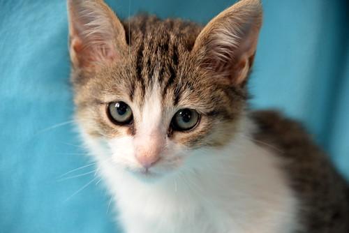 Morris, gatito blanquipardo muy guapo y activo nacido en Octubre´18, en adopción. Valencia. ADOPTADO. 45218666414_040a125197