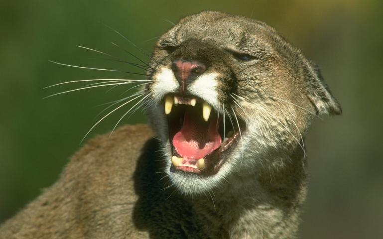 Cougar 美洲獅。照片來源:加州漁業和野生動物部