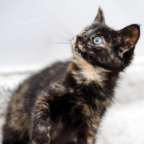 Magda, gatita carey muy mimosa y divertida nacida en Sept´18, en adopción. Valencia. ADOPTADA. 45496726434_77a0b9c90e