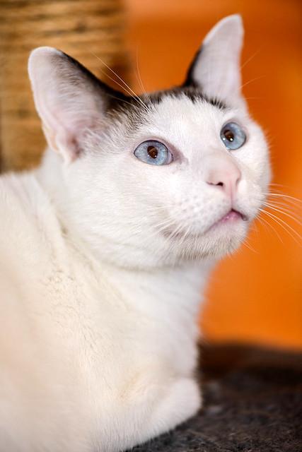 Blau, gato cruce Snowshoe nacido en enero´17 esterilizado, apto para gatos machos, en adopción. Valencia. 46157699472_4d40726c47_z
