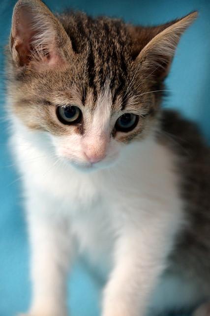 Morris, gatito blanquipardo muy guapo y activo nacido en Octubre´18, en adopción. Valencia. ADOPTADO. 45030600485_9cc697ca96_z