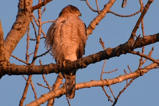 Sunrise - Cooper's Hawk | by dlv1