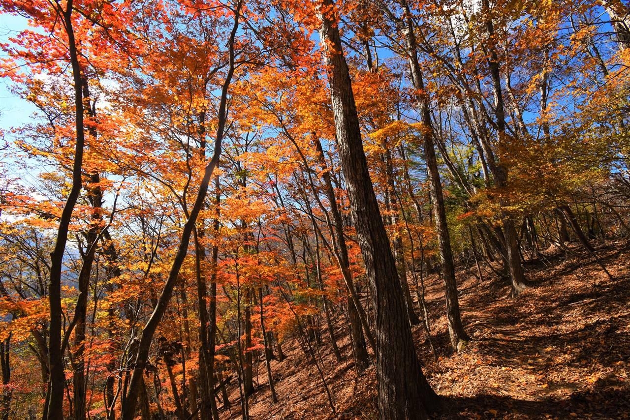 牛ノ寝通り 登山道の紅葉