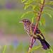2018.07.01 Sweetwater Wetlands Red-winged Blackbird 1
