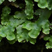 Conocephalum liverwort