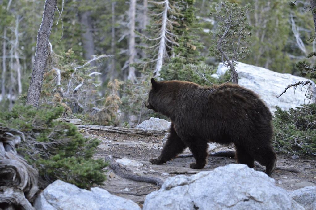 緩步離開的黑熊。相較於棕熊,黑熊的體型較小,也比較溫和,但仍需要保持安全距離,避免驚擾他。