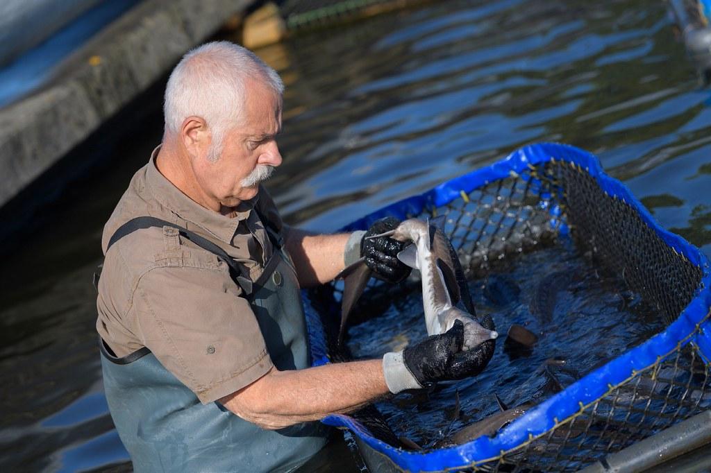世界養殖漁業的漁獲連年增加。