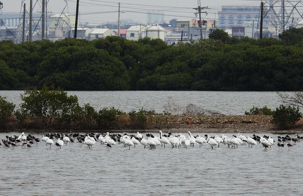 永安濕地是五星級賞鳥景點,可近距離看到黑面琵鷺和重要水鳥。圖片來源:高雄鳥會
