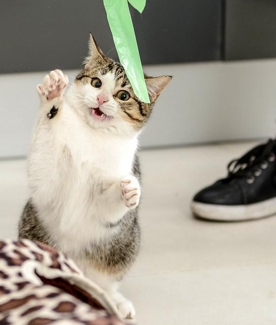 Lara, gatita blanquiparda dulcísima y confiada, nacida en Septiembre´18, en adopción. Valencia. ADOPTADA. 46008014265_b0e5125697_z