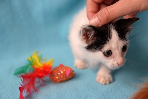 Morad, gatito blanco con toques negros muy juguetón nacido en Octubre´18, en adopción. Valencia. 44126312040_bd4dfde768