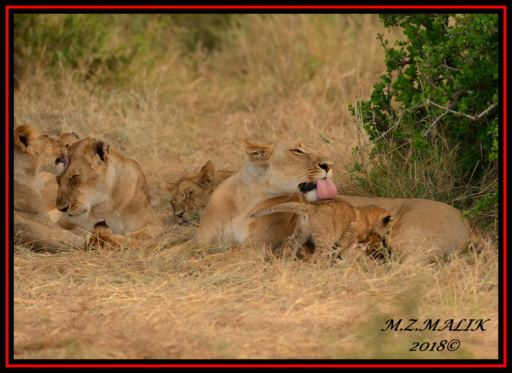 Female Lioness Panthera Leo With Cubsai Mara Flickr