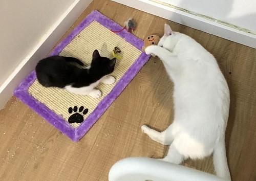 Hugo, gatito blanquinegro adorable nacido en Octubre´18, en adopción. Valencia. ADOPTADO. 45479144545_4f6be82820