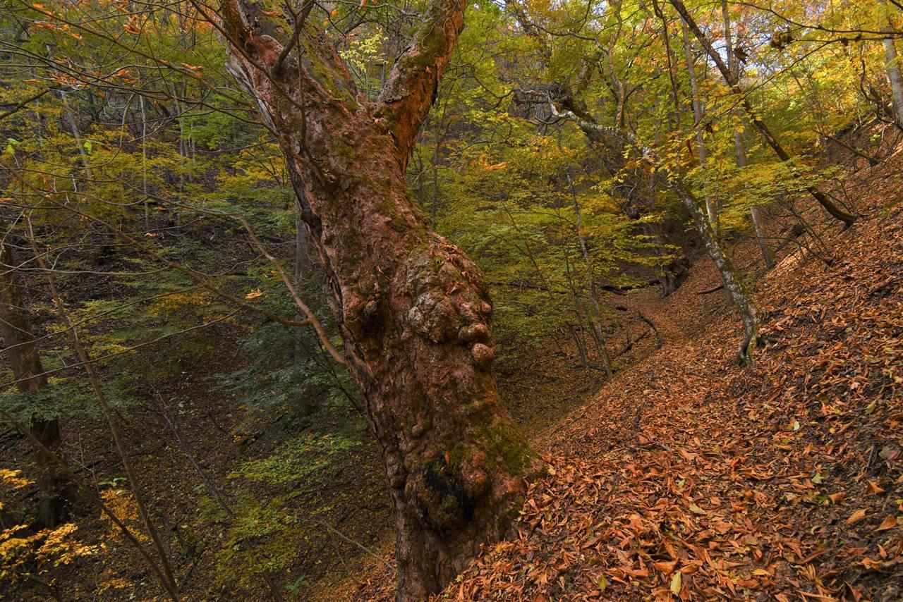 大マテイ山・トチノキの巨樹