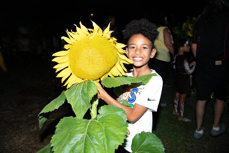 sunflower harvest in action