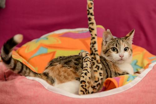Casandra, gatita tricolor monísima y súper buena esterilizada, nacida en Mayo´18, en adopción. Valencia. ADOPTADA. 44360154840_cba07b6b97