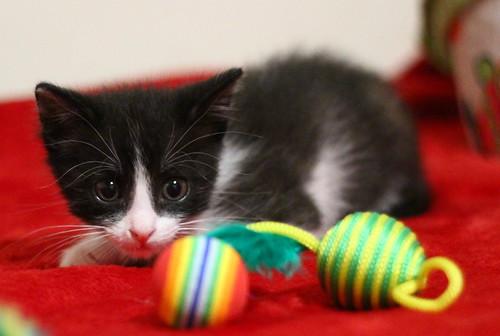 Hugo, gatito blanquinegro adorable nacido en Octubre´18, en adopción. Valencia. ADOPTADO. 45218401294_8071cf7682