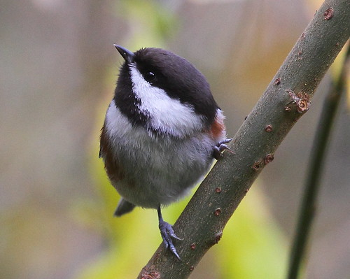 Chestnut-backed Chickadee looking up | by Rob -Alexander