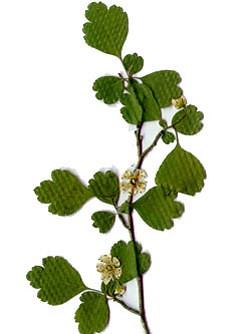 biancospino fiori e foglie