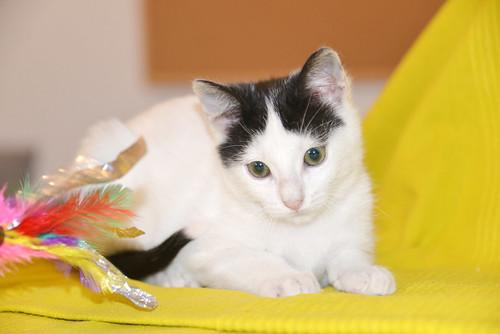 Morad, gatito blanco con toques negros muy juguetón nacido en Octubre´18, en adopción. Valencia. 45410901815_a4c5599e3b