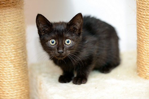 Mágica, gatita azabache muy guapa y tímida + inmunodeficiencia, nacida en Septiembre´18, en adopción. Valencia. ADOPTADA.  46359716032_b61db13253