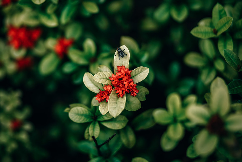 Beautiful Red Flower with Green Leaves and a Big Fly on top