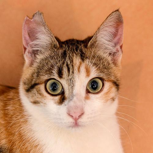 Casandra, gatita tricolor monísima y súper buena esterilizada, nacida en Mayo´18, en adopción. Valencia. ADOPTADA. 46177381471_e29be5061a
