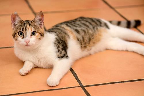 Casandra, gatita tricolor monísima y súper buena esterilizada, nacida en Mayo´18, en adopción. Valencia. ADOPTADA. 45264728825_e7dd258cd2