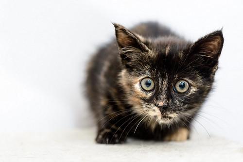 Magda, gatita carey muy mimosa y divertida nacida en Sept´18, en adopción. Valencia. ADOPTADA. 31281719097_3b6816f16e